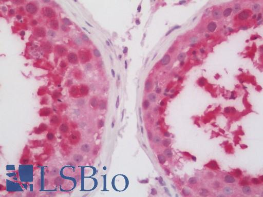 HSPA6 / HSP70B' Antibody - Human Testis: Formalin-Fixed, Paraffin-Embedded (FFPE).  This image was taken for the unconjugated form of this product. Other forms have not been tested.