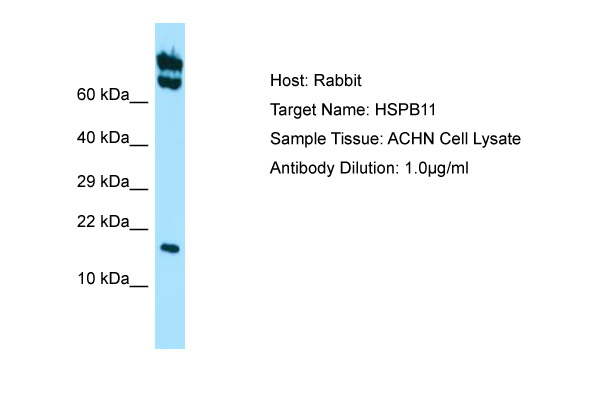 HSPB11 Antibody -  This image was taken for the unconjugated form of this product. Other forms have not been tested.