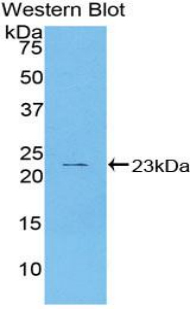 Western blot of recombinant HSPB2 / HSP27.  This image was taken for the unconjugated form of this product. Other forms have not been tested.