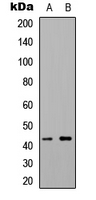 Western blot analysis of 5-HT1F expression in HEK293T (A); NIH3T3 (B) whole cell lysates.