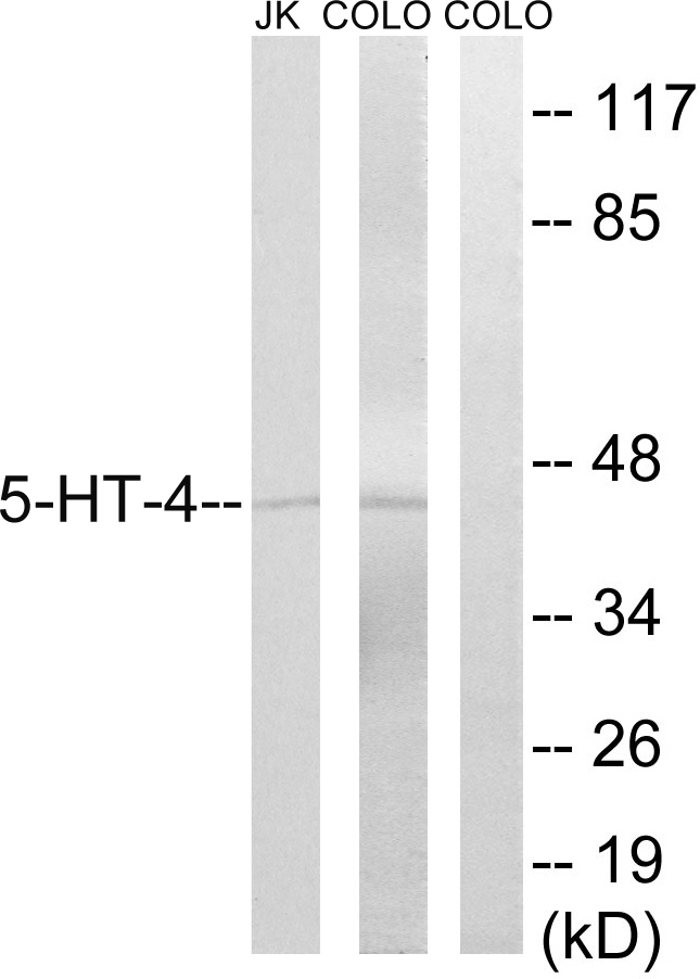 HTR4 / 5-HT4 Receptor Antibody - Western blot analysis of lysates from Jurkat/COLO205, using 5-HT-4 Antibody. The lane on the right is blocked with the synthesized peptide.