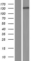 ABL2 Protein - Western validation with an anti-DDK antibody * L: Control HEK293 lysate R: Over-expression lysate
