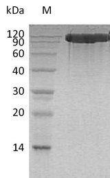 ACE2 / ACE-2 Protein - (Tris-Glycine gel) Discontinuous SDS-PAGE (reduced) with 5% enrichment gel and 15% separation gel.