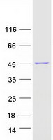 ACTG1 / Gamma Actin Protein - Purified recombinant protein ACTG1 was analyzed by SDS-PAGE gel and Coomassie Blue Staining