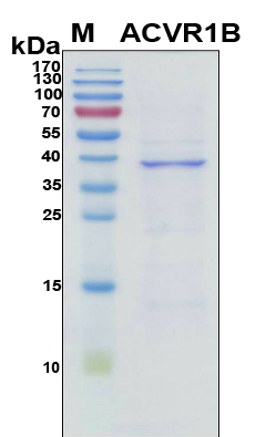 ACVR1B / ALK4 Protein - SDS-PAGE under reducing conditions and visualized by Coomassie blue staining