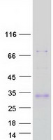 Adiponectin Protein - Purified recombinant protein ADIPOQ was analyzed by SDS-PAGE gel and Coomassie Blue Staining