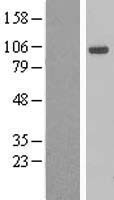 AHR Protein - Western validation with an anti-DDK antibody * L: Control HEK293 lysate R: Over-expression lysate