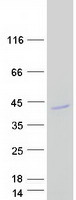 AMD / AMD1 Protein - Purified recombinant protein AMD1 was analyzed by SDS-PAGE gel and Coomassie Blue Staining