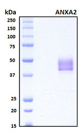 ANXA2 / Annexin A2 Protein - SDS-PAGE under reducing conditions and visualized by Coomassie blue staining
