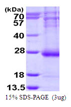 ARL14 Protein