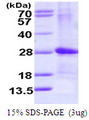 ARL4D Protein
