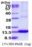 ARL9 Protein
