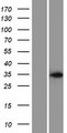 ASB17 Protein - Western validation with an anti-DDK antibody * L: Control HEK293 lysate R: Over-expression lysate