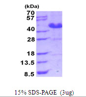 ASRGL1 Protein