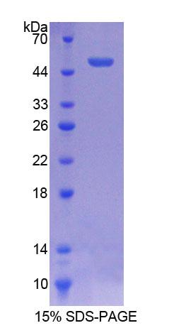 ATF3 Protein - Recombinant  Activating Transcription Factor 3 By SDS-PAGE
