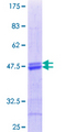 ATF5 Protein - 12.5% SDS-PAGE Stained with Coomassie Blue.