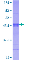 ATF6 Protein - 12.5% SDS-PAGE Stained with Coomassie Blue.