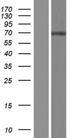 ATG16L2 Protein - Western validation with an anti-DDK antibody * L: Control HEK293 lysate R: Over-expression lysate