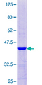 B4GAT1 / B3GNT1 Protein - 12.5% SDS-PAGE Stained with Coomassie Blue.