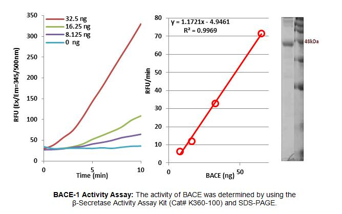 BACE1 / BACE Protein
