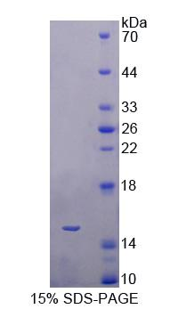 BAMBI Protein - Recombinant  BMP And Activin Membrane Bound Inhibitor Homolog By SDS-PAGE