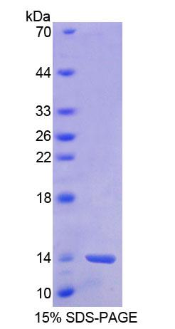BANF1 / BAF / BCRP1 Protein - Recombinant  Barrier To Autointegration Factor 1 By SDS-PAGE