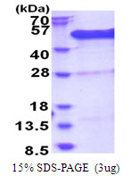 BCCIP Protein