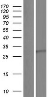 BDNF Protein - Western validation with an anti-DDK antibody * L: Control HEK293 lysate R: Over-expression lysate