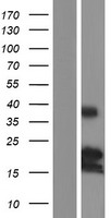 BMF Protein - Western validation with an anti-DDK antibody * L: Control HEK293 lysate R: Over-expression lysate