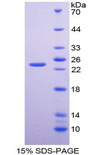 BMF Protein - Recombinant Bcl2 Modifying Factor By SDS-PAGE