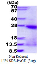 BMP2 Protein
