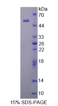 BPIFA1 / SPLUNC1 Protein - Recombinant  Palate/Lung And Nasal Epithelium Associated Protein By SDS-PAGE
