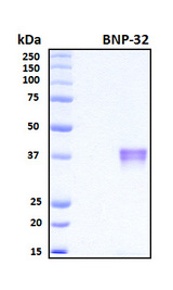 Brain Natriuretic Peptide 32 Protein - SDS-PAGE under reducing conditions and visualized by Coomassie blue staining