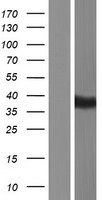 BTNL8 Protein - Western validation with an anti-DDK antibody * L: Control HEK293 lysate R: Over-expression lysate