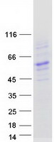 BTNL8 Protein - Purified recombinant protein BTNL8 was analyzed by SDS-PAGE gel and Coomassie Blue Staining