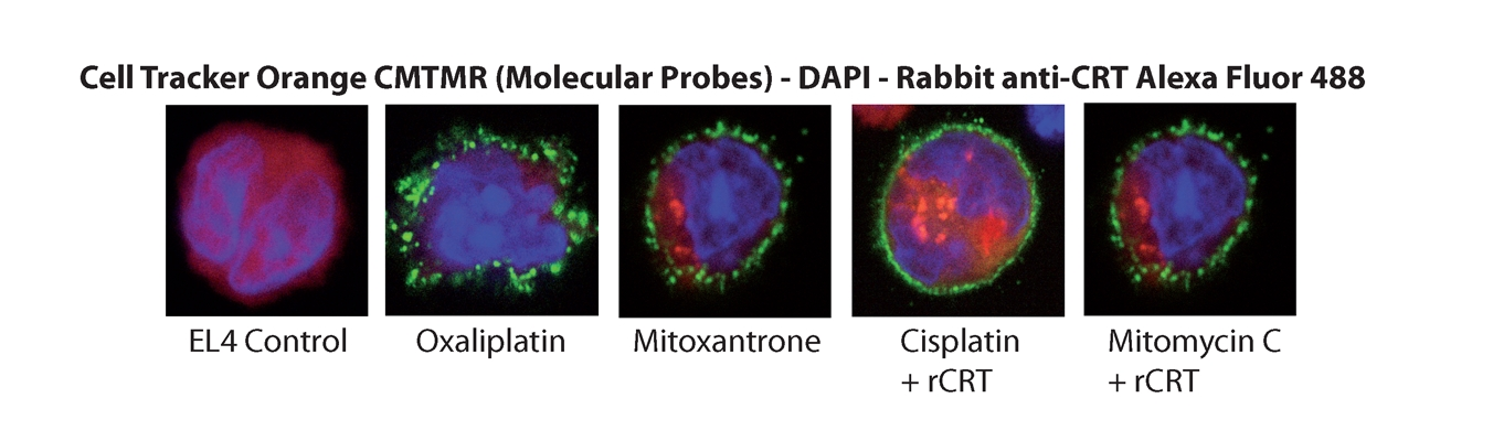 CALR / Calreticulin Protein - Immunofluorescence Cells were possibly incubated with rCRT and mitoxanthron (1mM, Sigma) treated cells were used as positive control. Pictures courtesy of Prof. Guido Kroemer, INSERM, Paris.