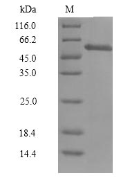 CCNA1 / Cyclin A1 Protein - (Tris-Glycine gel) Discontinuous SDS-PAGE (reduced) with 5% enrichment gel and 15% separation gel.