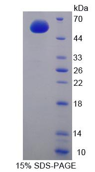 CCNA1 / Cyclin A1 Protein - Recombinant  Cyclin A1 By SDS-PAGE