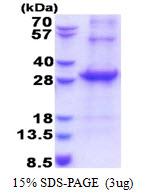 CD33 Protein