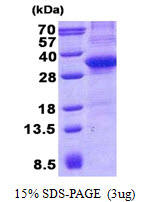 CD34 Protein