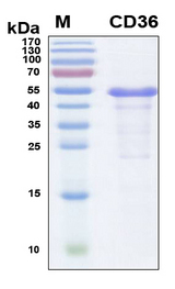 CD36 Protein - SDS-PAGE under reducing conditions and visualized by Coomassie blue staining