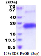 CD40 Protein