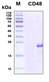 CD48 Protein - SDS-PAGE under reducing conditions and visualized by Coomassie blue staining