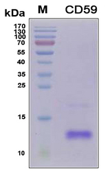 CD59 Protein - SDS-PAGE under reducing conditions and visualized by Coomassie blue staining