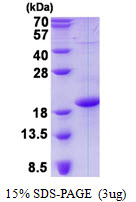 CD83 Protein