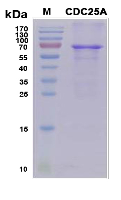 CDC25A Protein - SDS-PAGE under reducing conditions and visualized by Coomassie blue staining