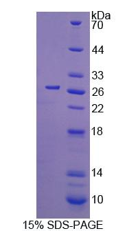 CDC42 Protein - Recombinant Cell Division Cycle Protein 42 By SDS-PAGE