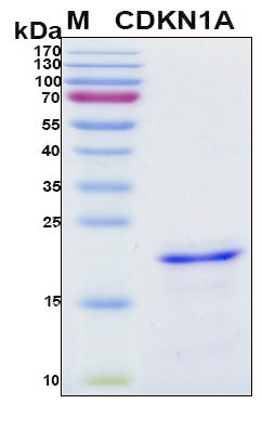 CDKN1A / WAF1 / p21 Protein - SDS-PAGE under reducing conditions and visualized by Coomassie blue staining