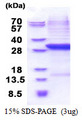 CFB / Complement Factor B Protein
