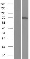CHD2 Protein - Western validation with an anti-DDK antibody * L: Control HEK293 lysate R: Over-expression lysate